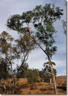 rope and saddle manuever to prune tree