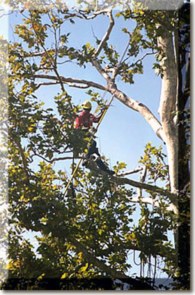 Homestead tree climber pruning sycamore