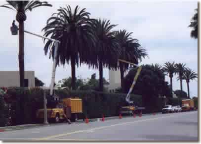 pruning date palms in La Jolla