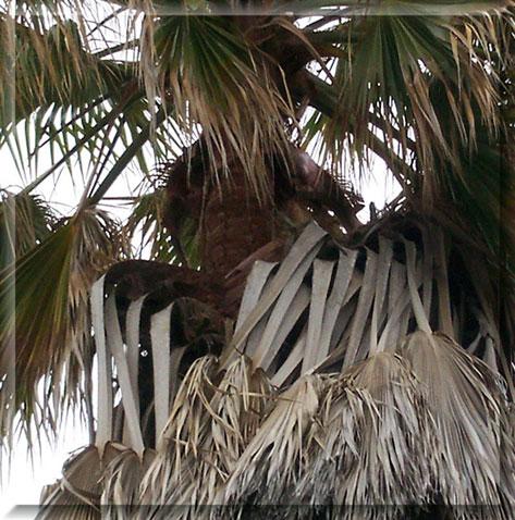 San Diego Tree Service - Dangers of Mexican Fan Palms